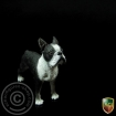 Boston Terrier b/w
