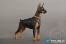 Dobermann - black-brown