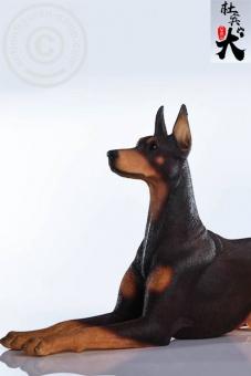 Doberman Dog - lying